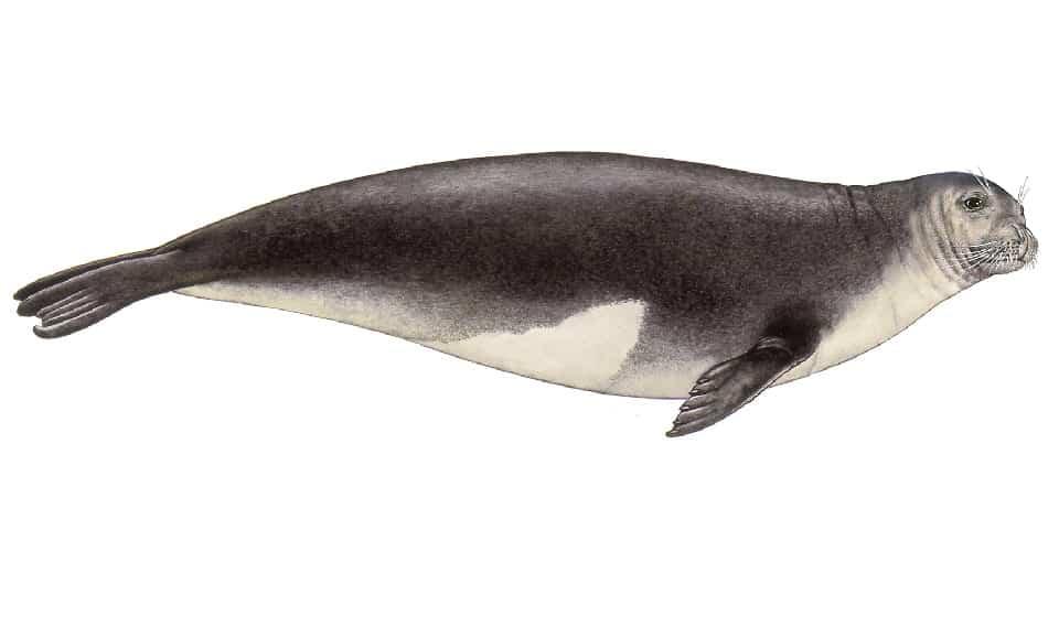 Mediterranean monk seal image