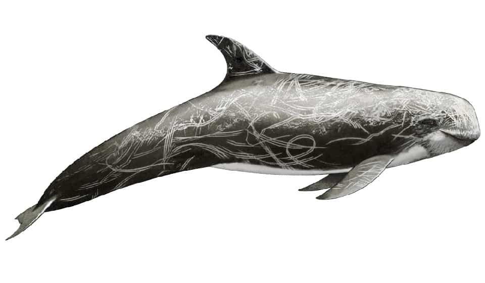 Risso's dolphin image